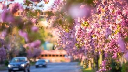 """В Ужгороде зацвели сакуры: впечатляющие фото из """"розового"""" города"""
