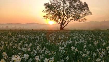 Невероятное цветение: Долину нарциссов на Закарпатье открыли для посетителей
