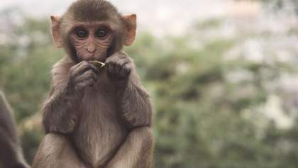 Експериментальна вакцина проти ВІЛ захистила мавп від зараження