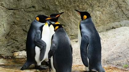 Звеселяючий газ з-під хвоста: пінгвіни одурманили дослідників