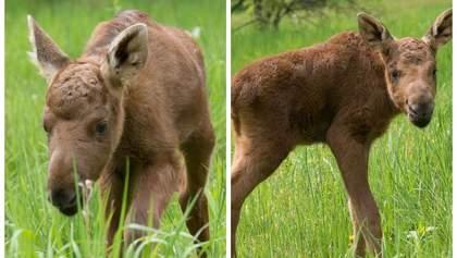 Двох лосенят з Чорнобиля прихистили в екопарку Харкова: зворушливі кадри