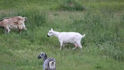 Карантин так карантин: у Дніпрі помітили стадо кіз в масках – фото
