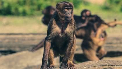 В Індії група мавп напала на лабораторію та викрала зразки крові пацієнтів з COVID-19: відео
