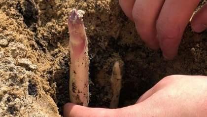 Як росте спаржа: цікаві фото