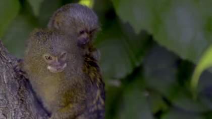У Відні народилося одне з найменших мавпенят у світі: миле відео