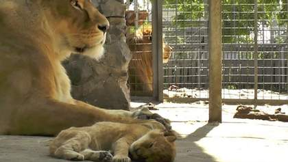У зоопарку в Маріуполі народилося левеня: милі фото і відео