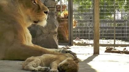 В зоопарке в Мариуполе родился львенок: милые фото и видео