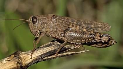 Россию атаковала саранча, но Кремль помогает с насекомыми Африке: видео