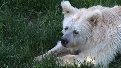 Врятованих від насилля ведмедів стає складно тримати в притулку: зоозахисники б'ють на сполох