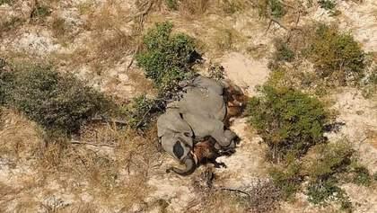 Массовая гибель слонов в Африке: ученые назвали несколько вероятных причин – фото 18+