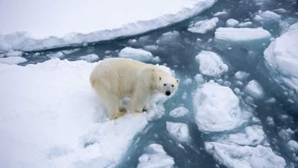 Когда могут исчезнуть белые медведи: шокирующий прогноз ученых