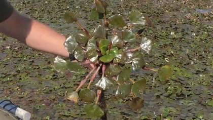 Рослина з Червоної книги окупувала Дніпро: чим небезпечний водяний горіх