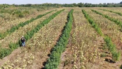 Между подсолнухами каннабис: полиция нашла на Запорожье поле с наркотиками – фото