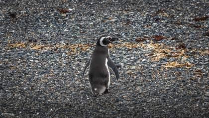 В Бразилии нашли мертвого пингвина: животное проглотило защитную маску – фото