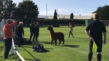 Альпака выбежала на поле во время футбольного матча в Англии и бегала за игроками: забавное виде