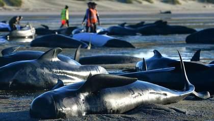 Более 270 дельфинов выбросились на берег Тасмании: фото и видео