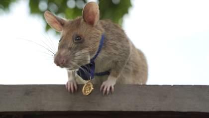 Крыса-разведчица: в Камбодже наградили крысу за спасение человеческих жизней – фото и видео