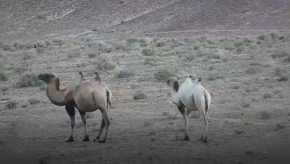Открытие года: на северо-западе Китая впервые увидели верблюда-альбиноса – видео