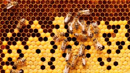 20 тысяч пчел построили улей в офисе компании, пока сотрудники работали удаленно: фото