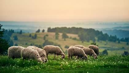Подружжя покинуло бізнес у Луцьку, аби створити овечу ферму: історія надихає