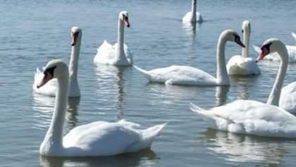 На Херсонщине – птичий грипп: из-за этого погибли десятки лебедей