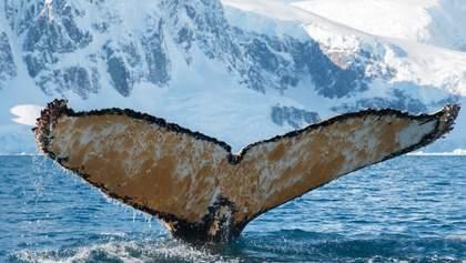 Був не дуже радий: українці в Антарктиді розбудили величезного кита – фото, відео