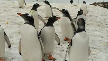"""Як пінгвіни """"вивчають"""" полярників: миле відео"""