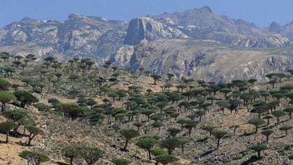 Інопланетні дерева на острові Сокотра, в яких тече кров дракона: фото