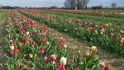 Під Івано-Франківськом розквітло понад 2 мільйони тюльпанів: кольорові фото