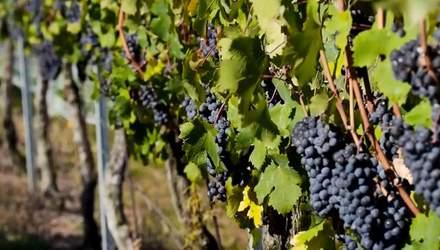 История французского виноделия