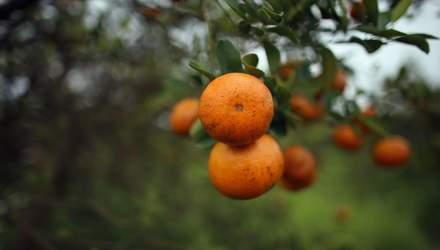 В Україні можна буде вирощувати цитрусові