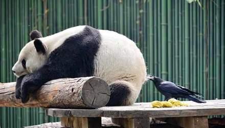 Находчивая ворона выдернула из панды клок шерсти, чтобы свить гнездо: забавные фото