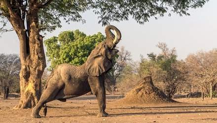 В Африке слон посреди дороги выполнил упражнение из йоги: курьезное видео