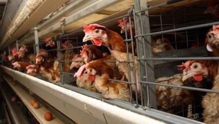 Як тваринницькі ферми впливають на здоров'я людей: відповідь експерта