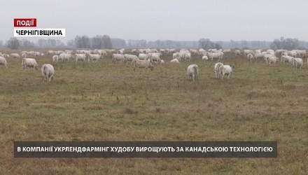"""В компанії """"Укрлендфармінг"""" Бахматюка худобу вирощують за канадською технологією"""