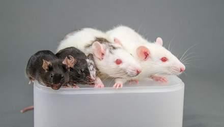 В Японии скрестят эмбрион человека с крысой и свиньей