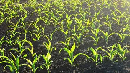 На Черниговщине фермер выращивает кукурузу на земле с памятниками стоимостью 2 миллиарда гривен