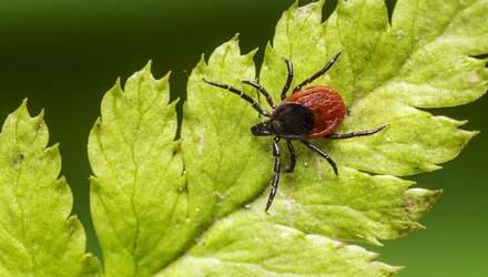 Як самостійно витягнути кліща: які небезпечні хвороби переносить