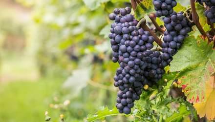 Почему вина из одного сорта винограда могут различаться по вкусу: секреты производства