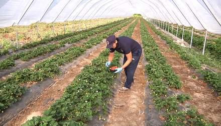 Клубника в октябре: на Ивано-Франковщине фермер выращивает необычные ягоды – фото, видео