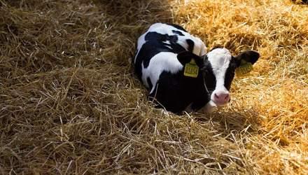 Скрытая связь между коровами и водкой: что интересного нашли пограничники