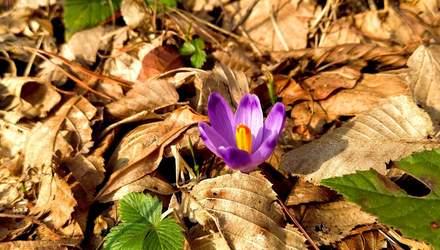На Закарпатье цветет краснокнижный шафран: впечатляющие фото редчайшего цветка