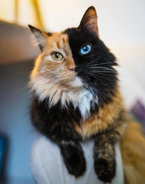 Кошка имеет не только шерсть 2 цветов, но и разные глаза
