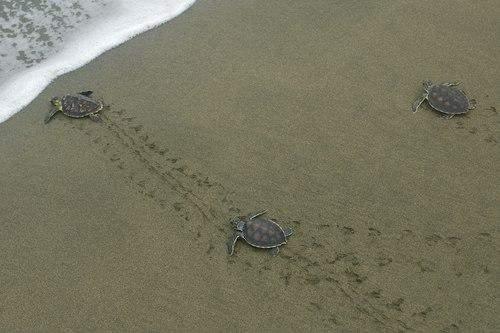 малые черепахи
