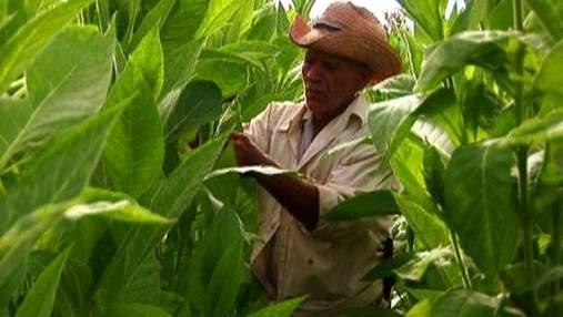 Кубинская Робайна - одна из самых табачных плантаций всего мира