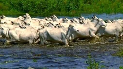 Рабочие будни американского пастуха на крупнейшей в мире территории болот