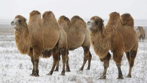 У Росії шамани провели жахливий обряд, спаливши п'ятьох верблюдів: відео 18+