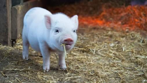 Людині вперше пересадили шкіру генномодифікованої свині