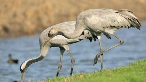 Зерно отравили: на Херсонщине снова гибнут краснокнижные птицы