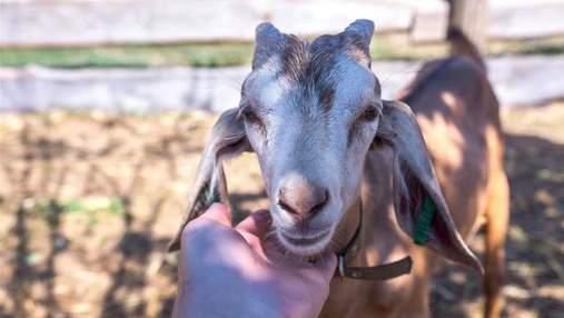 Пьяные жители Днепропетровщины украли козу: провернули целую операцию – фото